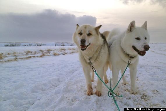sled dogs iceland
