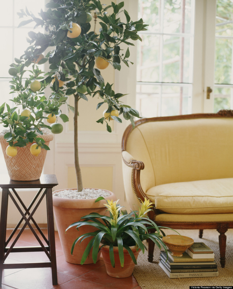 lemon tree living room