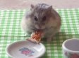 Tiny Hamster Eats Tiny Pizza. And Your Heart Melts Like Hot Mozzarella. (VIDEO)
