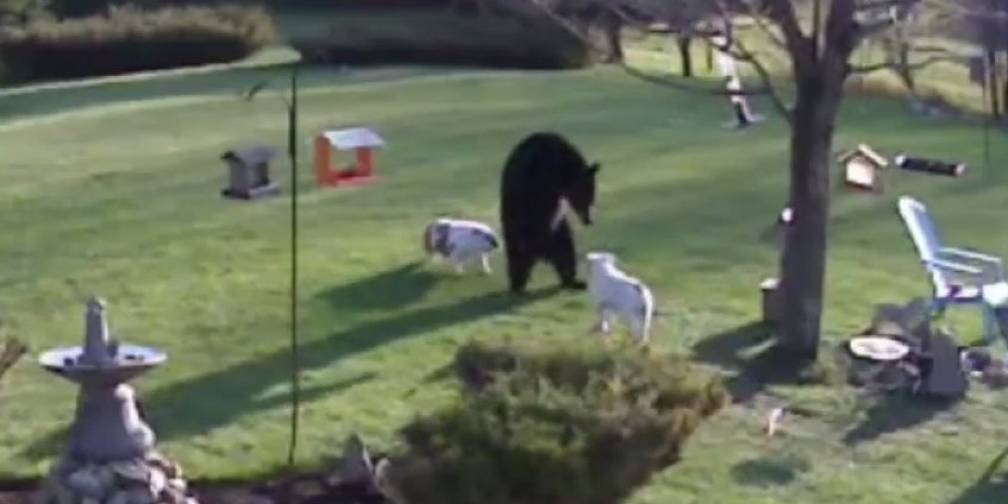 bulldog vs bears this is what happens when 2 bulldogs meet a black bear 4003