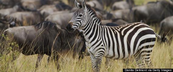 zebra different