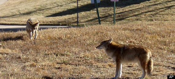 Westchester Coyote Attack