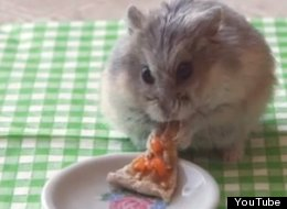 Tiny Hamsters Eat Tiny Burritos AND Pizza Because They Are Junk Food Fiends (VIDEO)