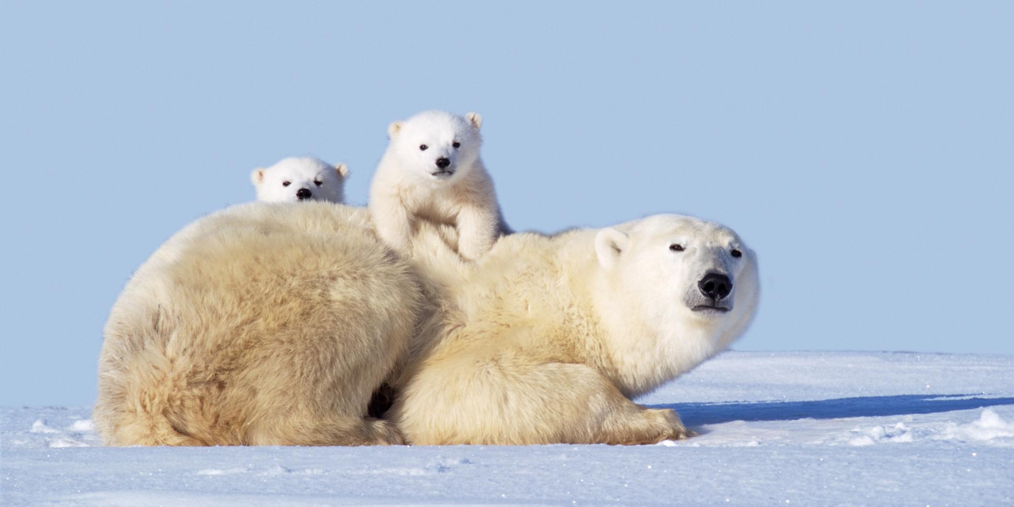 Polar bear with cubs - photo#25
