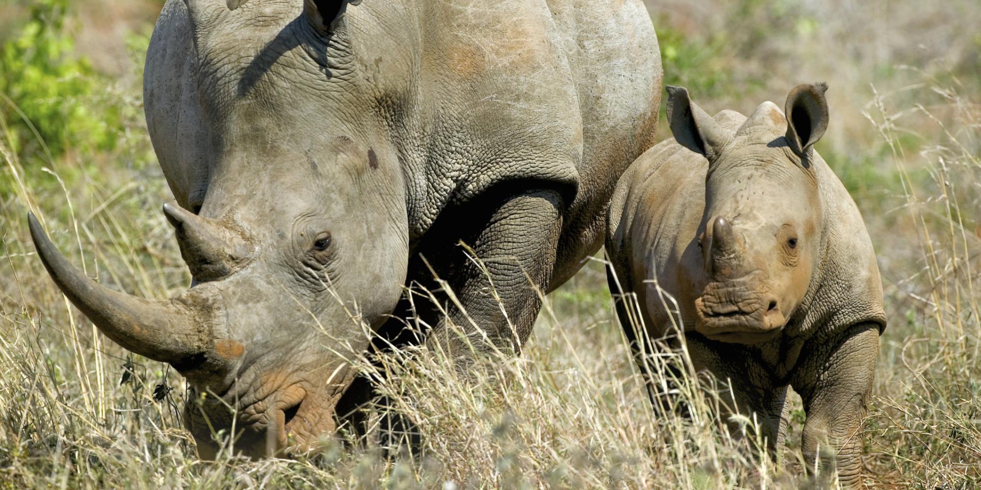 esp u00e8ces en voie de disparition  60  des herbivores