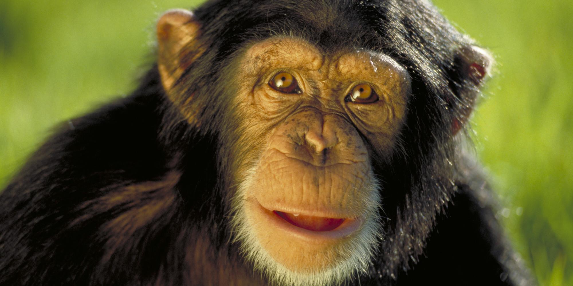 Chimps & Humans Have Similar Personality Traits, Ape ...
