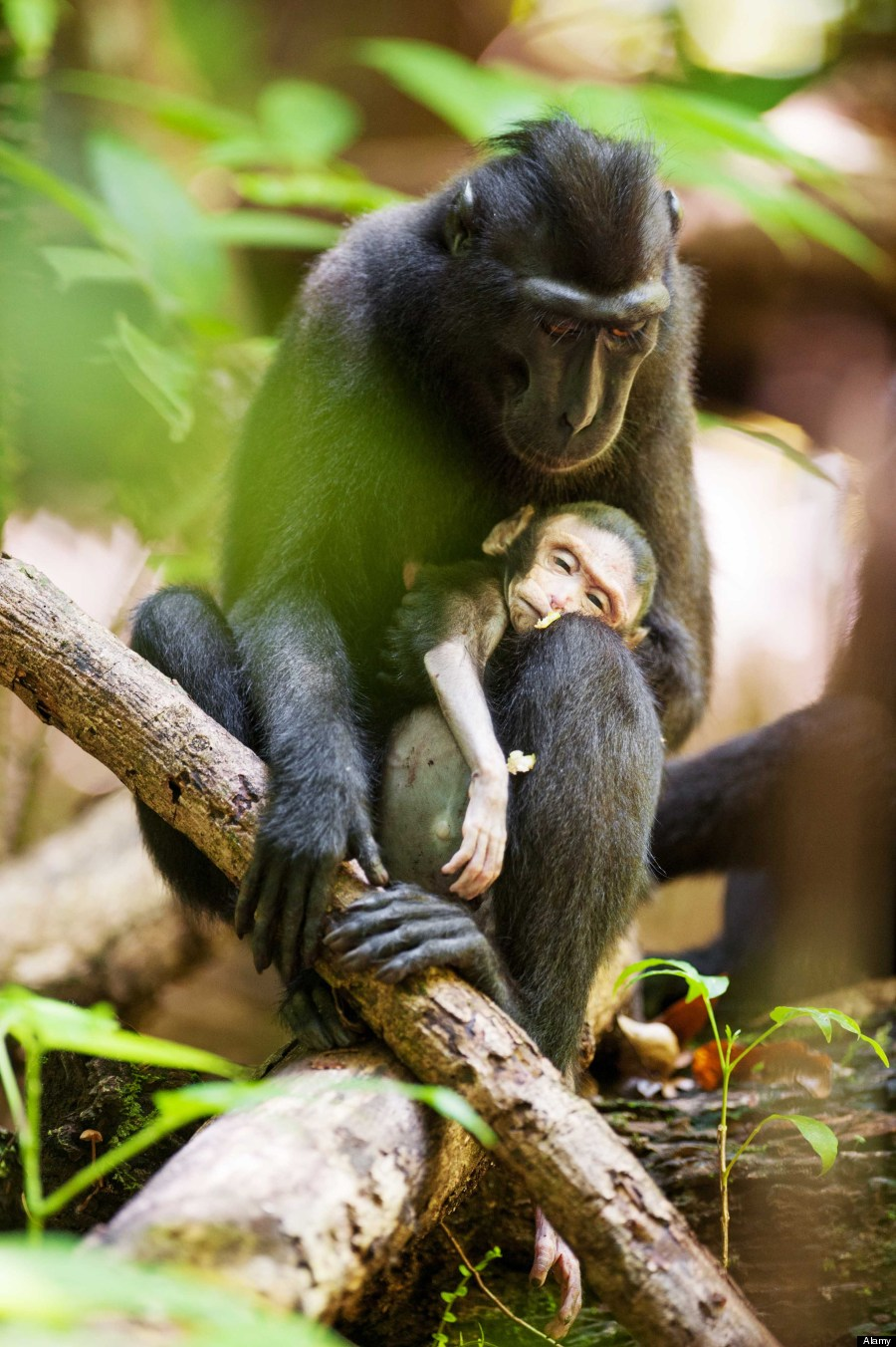 grieving macaque monkey