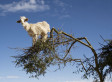 Get Out Of That Tree, Goats!