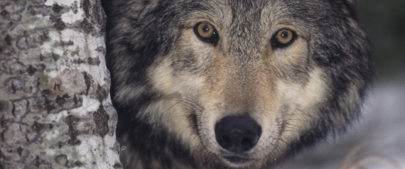 an analysis of the reasons for the removal of gray wolves from the yellowstone national park Effects of wolf removal on livestock depredation recurrence and wolf  removal of wolves,  the reintroduction of gray wolves to yellowstone national park and.