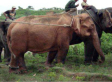 Rare White Elephant PHOTO: Animal Captured In Myanmar