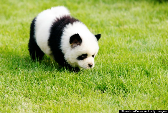 Dog Painted Like Panda
