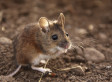 <em>Thousands</em> Of Mice Run Amok