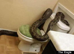 No This Isn't A Bad Dream – That Really Is A 12ft Python On The Toilet (PICTURE)