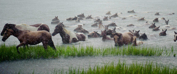 chincoteague island pony swim