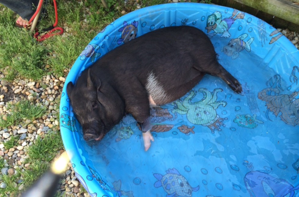 The weirdest pet you 39 ve ever owned page 3 the ill - Pot belly pigs as indoor pets ...