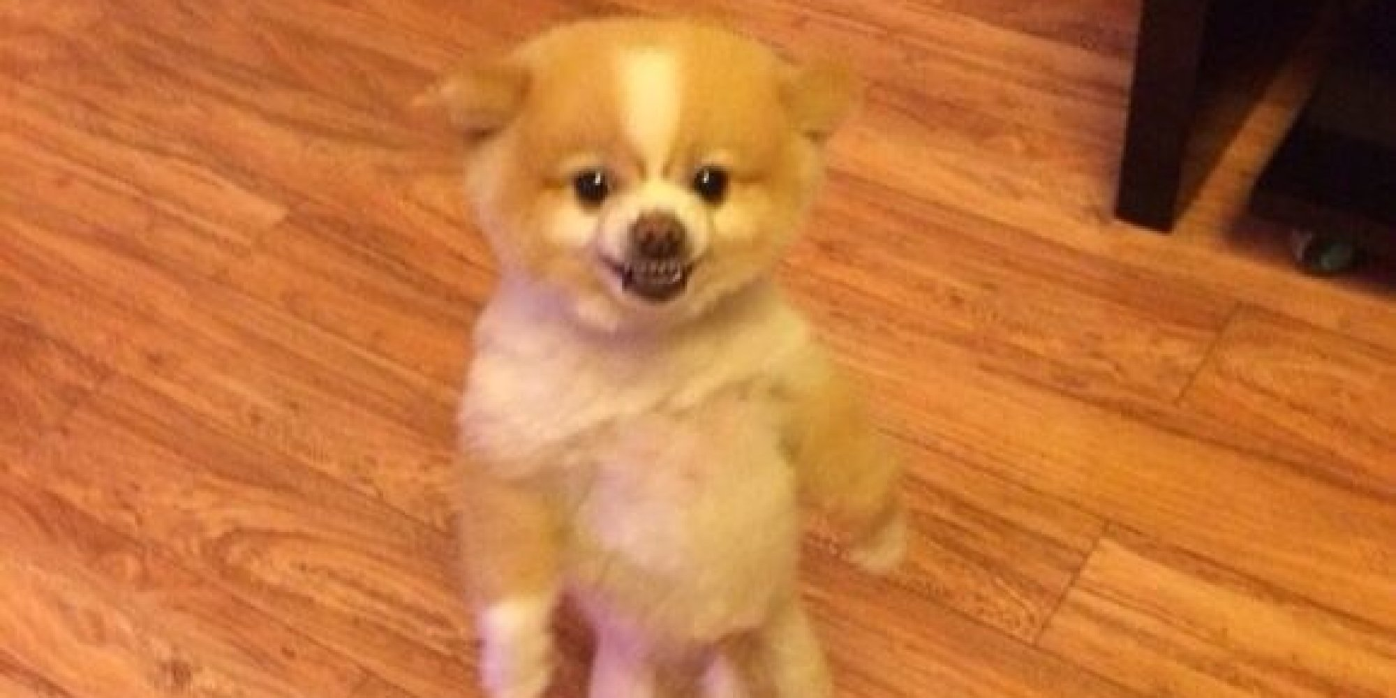 pomeranian pooch protests haircut by standing on hind legs
