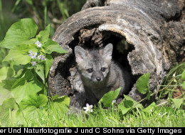 Baby Gray Foxes Nearly Orphaned by 'Humane' Trip