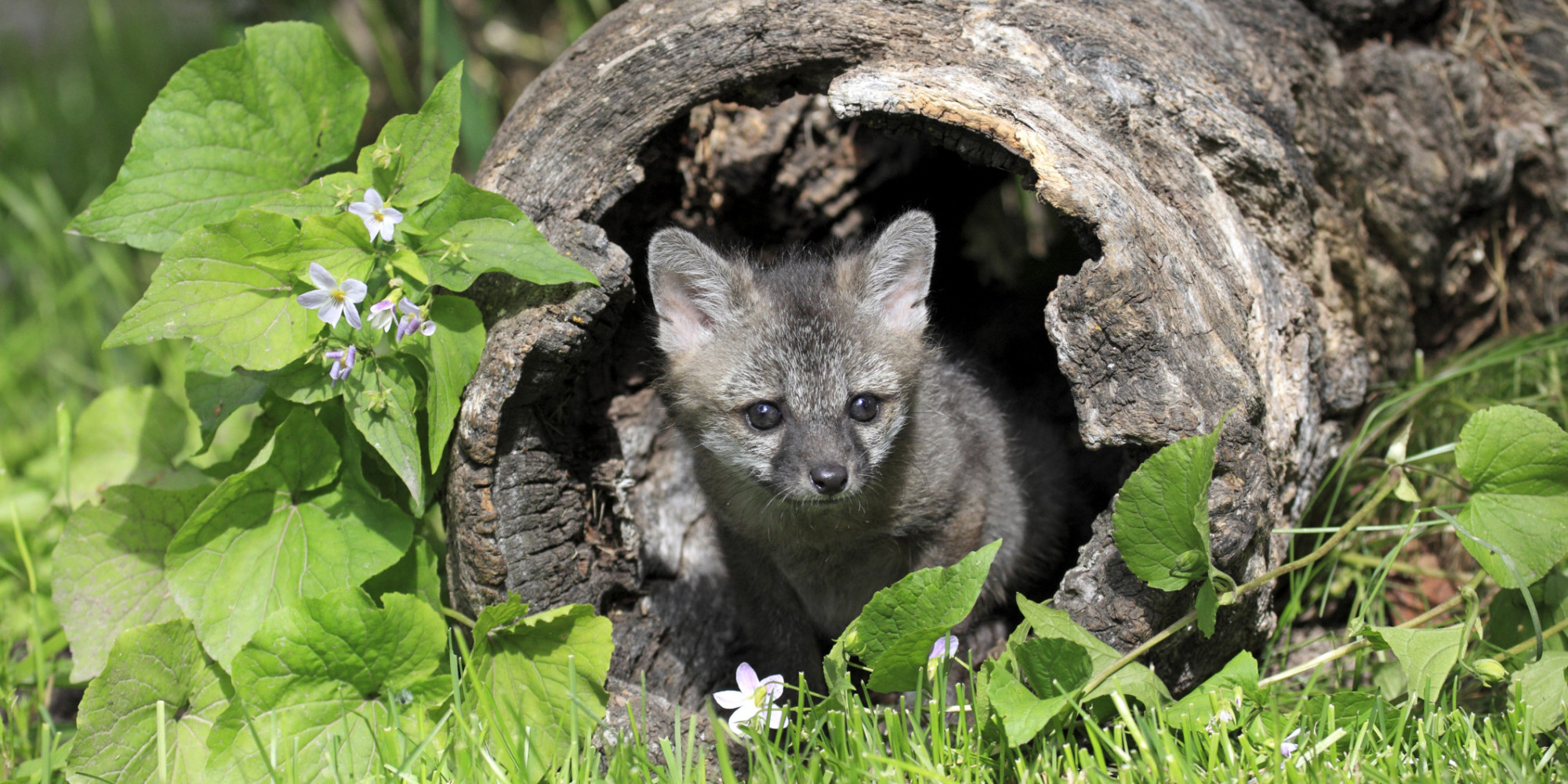 Baby gray foxes - photo#10