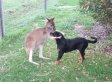 Rottweiler And Kangaroo Play Together, Prove Everything's A Little Different Down Under