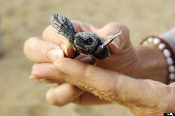 leatherback turtle baby