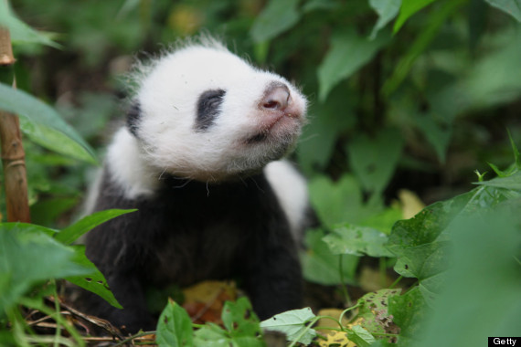 giant panda young