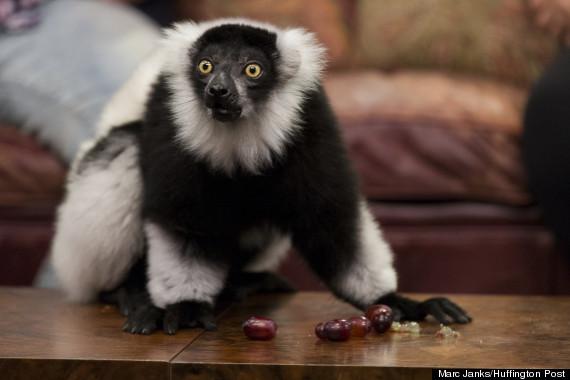 lemurs1
