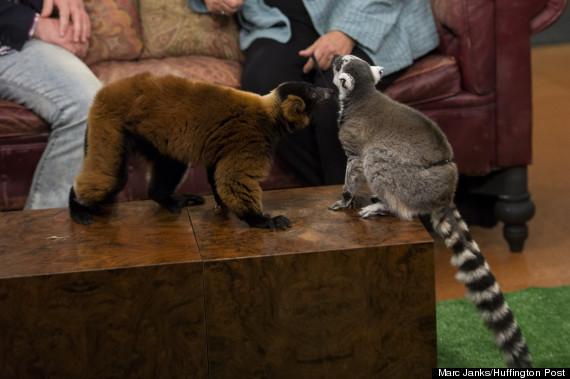lemurs2