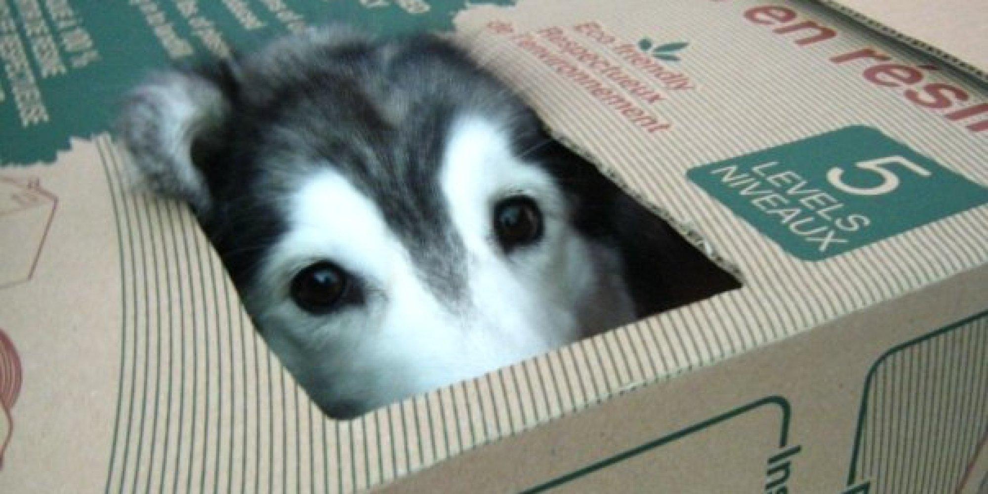 고양이 허스키 고양이와 함께 자란 허스키에게 찾아온 정체성의 위기 사진
