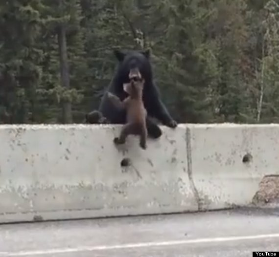 baby bear rescued by mama