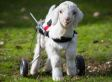 This Baby Goat Is So Happy With His New Wheelchair, And We Just Can't Even