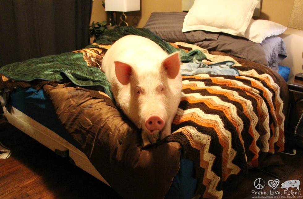 Esther The Wonder Pig Is A 500 Pound House Pet And So