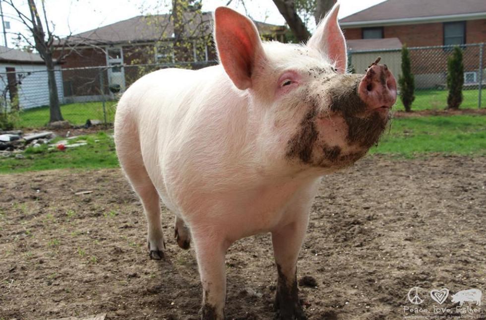 esther pig