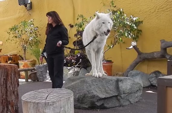 actual wolf