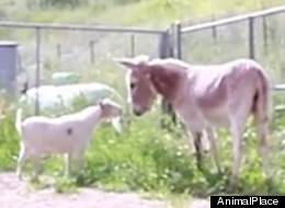 WATCH: Sad Goat's Heart-Lifting Reunion With Donkey Bestie