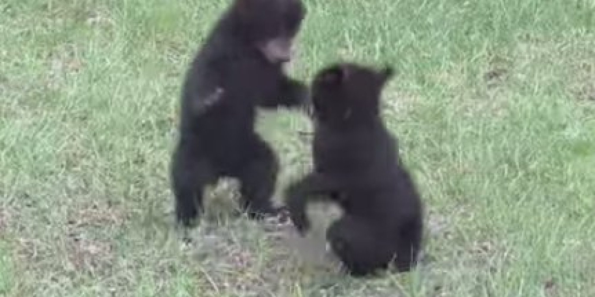 baby bears play fight in backyard and it 39 s so cute it 39 s