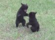 Baby Bears Play Fight In Backyard And It's So Cute It's Scary