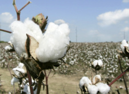 Monsanto Cotton