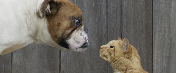 CAT AGAINST DOG