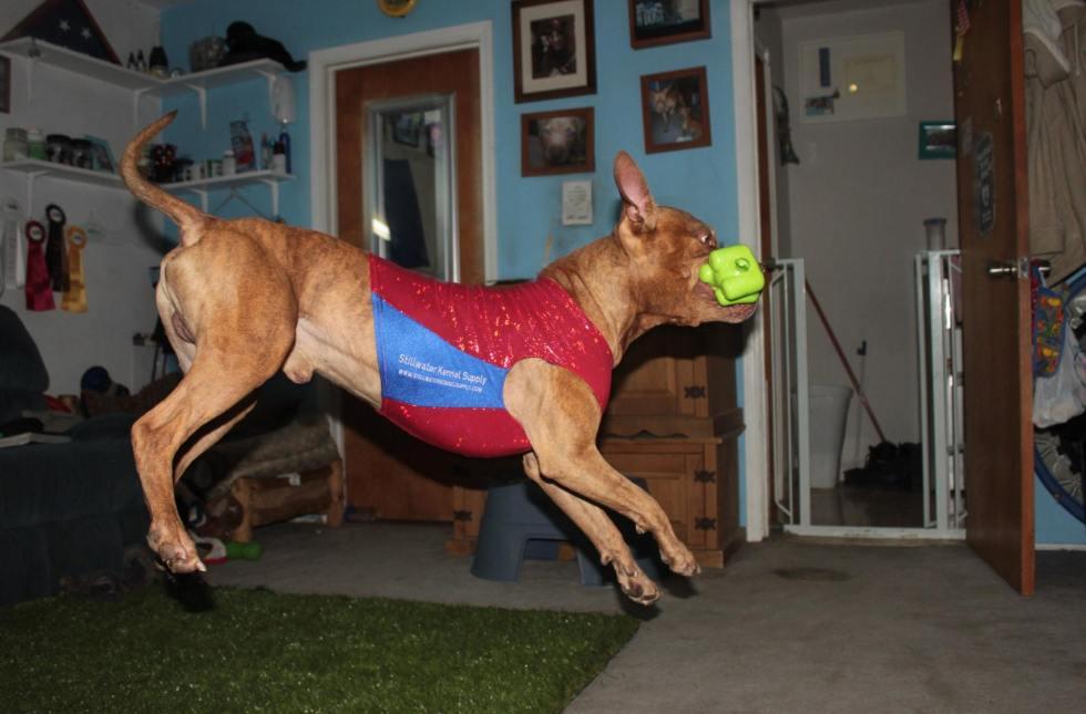 peanut the pit bull