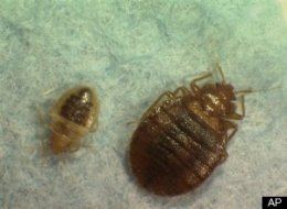 Us Bed Bug