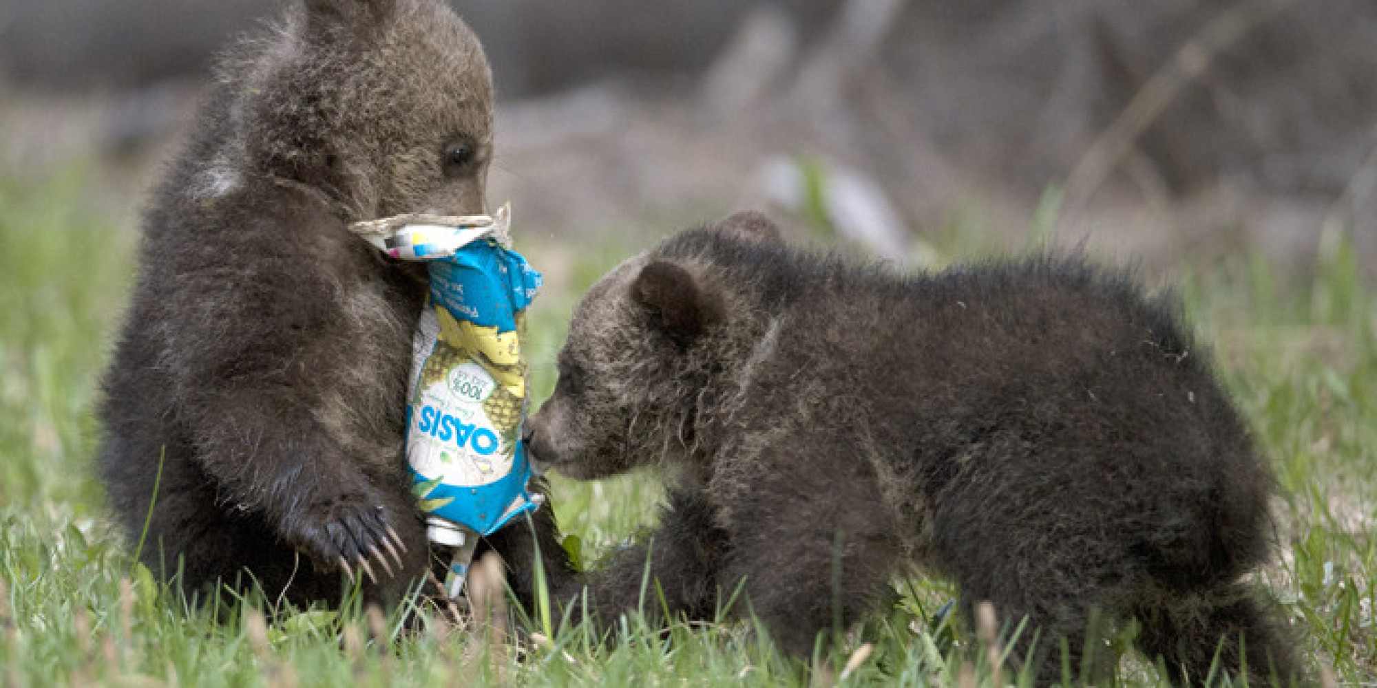 Bear Cubs Play With Garbage Humans Kinda Suck Photos