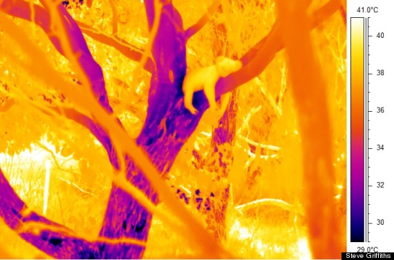 koalas trees