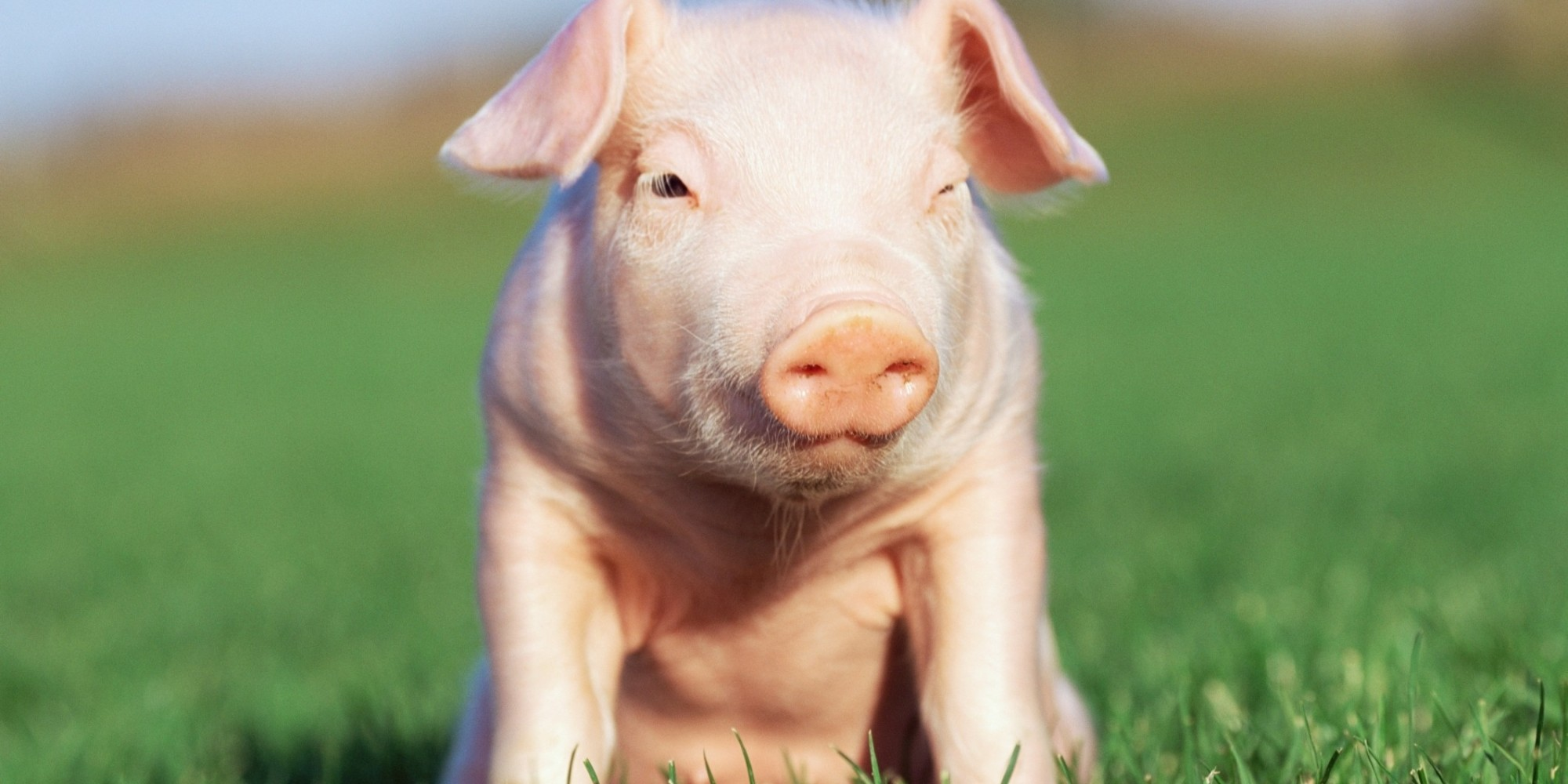 Alberta family has to give up pet potbellied pig - What do miniature pigs eat ...