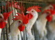 American Factory Farming: You Owe It to the Animals to Watch This (Video)