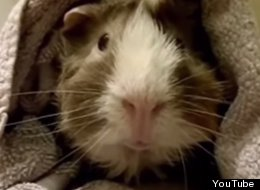This Interview With A Guinea Pig Will Tell You Everything That's In Their Adorable, Furry Heads