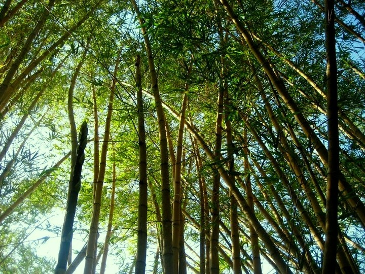 bamboo trees on ilha grande