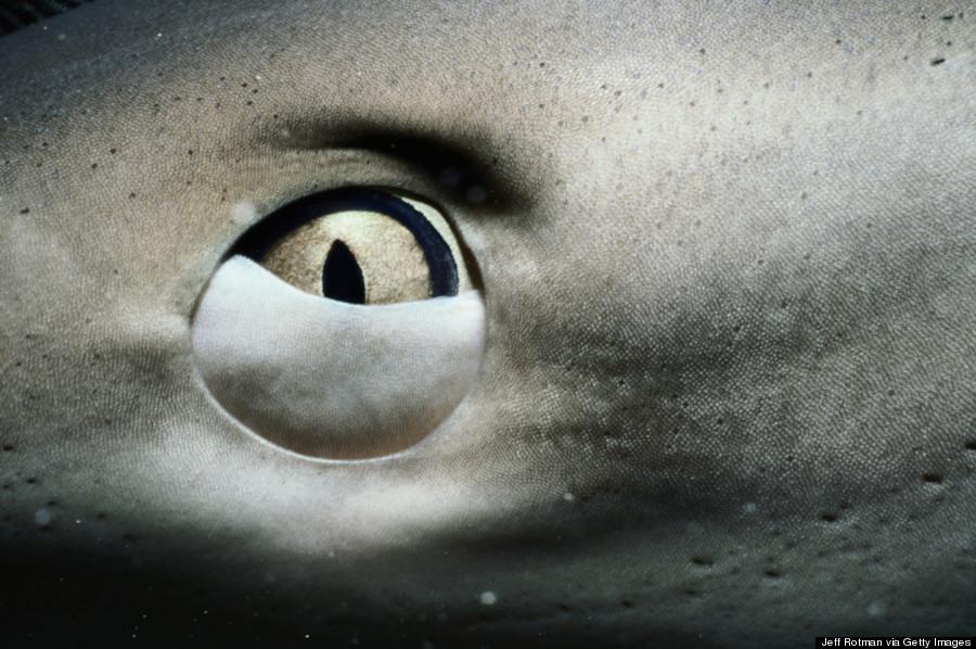 shark eye