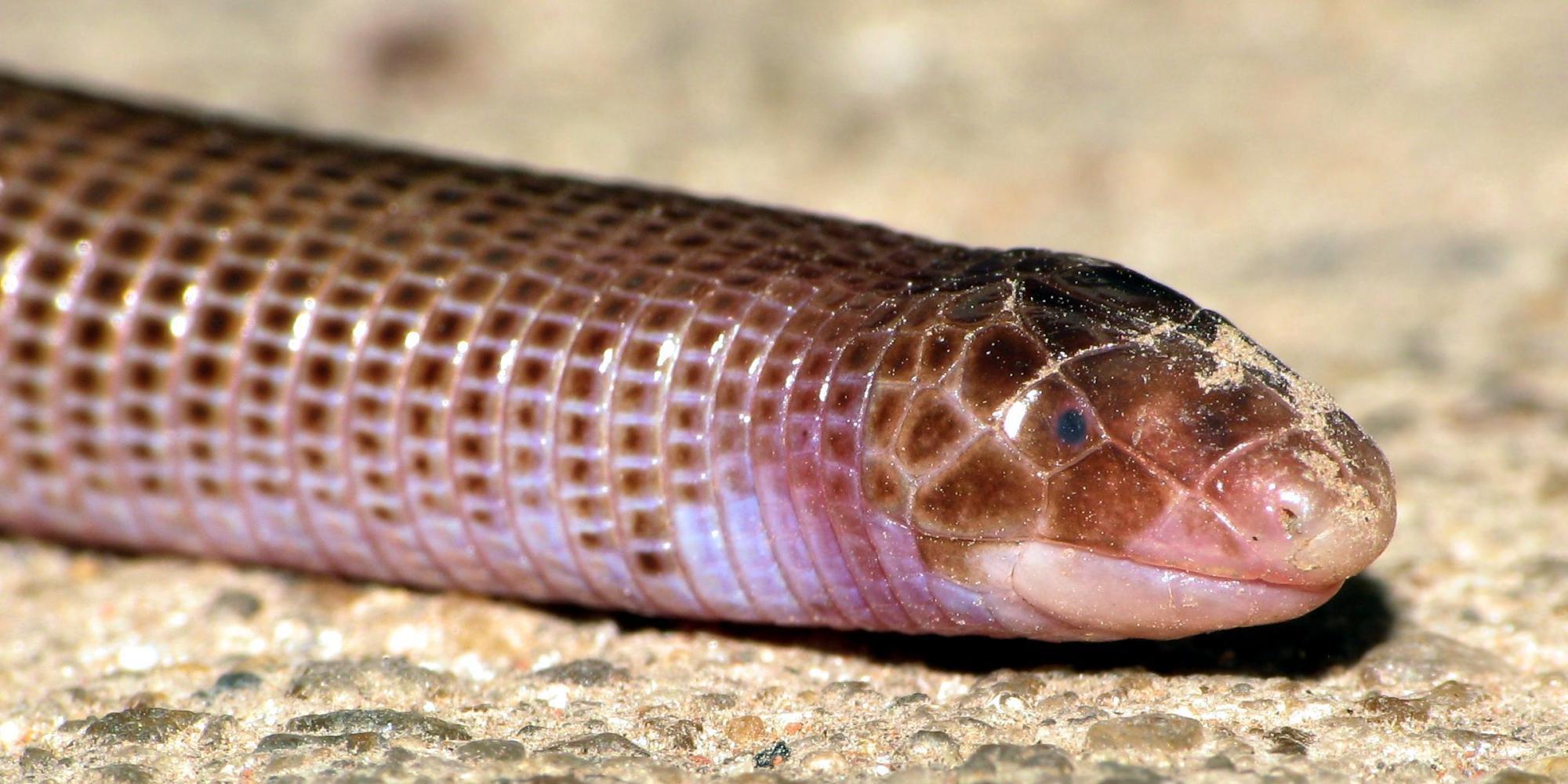 Lizards Eat Worms Weird 'worm Lizard' Fossil