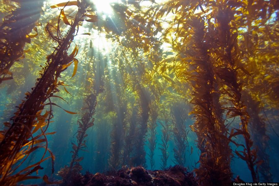 kelp forest