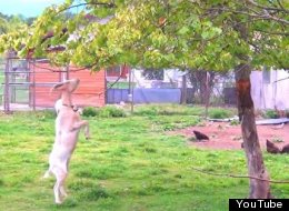 WATCH: Nothing To See Here. Just A Goat Walking On Its Hind Legs